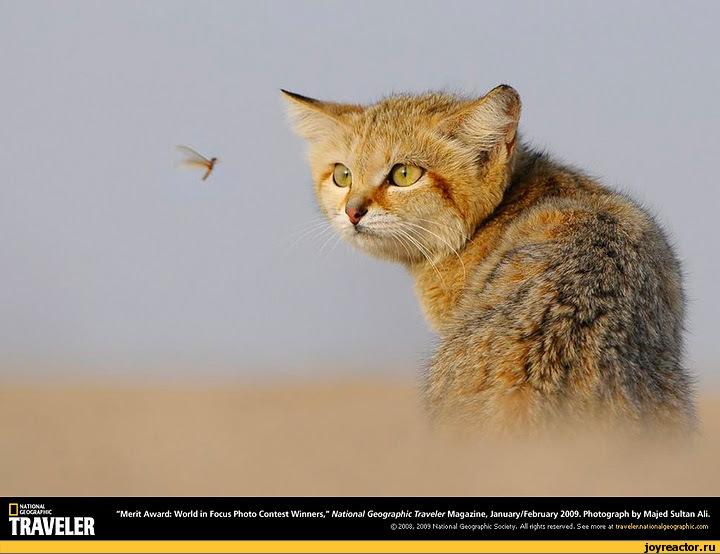 "HATWtiliaou«M<-Merit Award: World in Focus Photo Contest Winners."" National Geographic Traveler Magazine. January/February 2009. Photograph by Majed Sultan Ali.TRAVELER©20C3. 2003 Hw>ntlS«*i*. AM rt-^xs r««<*«.J. S«t rrxrt V trutUrSiK-y.i'wsxht.Kfn,нямки,фото,котэ,прикольные картинки с"