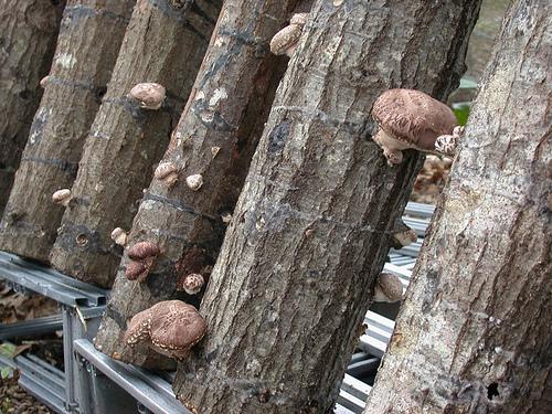Выращивание грибов шиитаке на бревнах 78